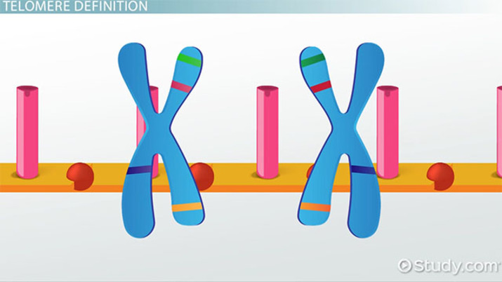 Telomeres: Definition & Function - Video & Lesson Transcript