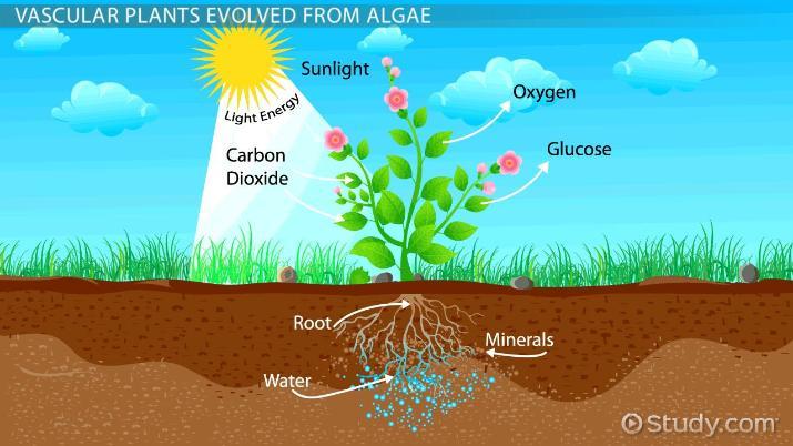 the evolution of vascular plants
