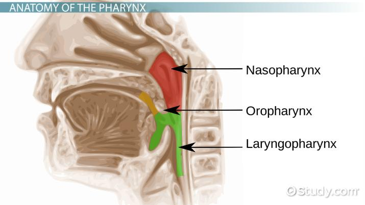 how long is the pharynx