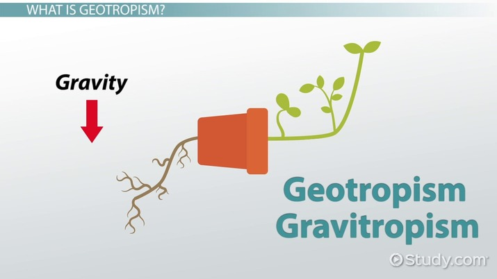 Geotropism: Definition, Examples & Experiments
