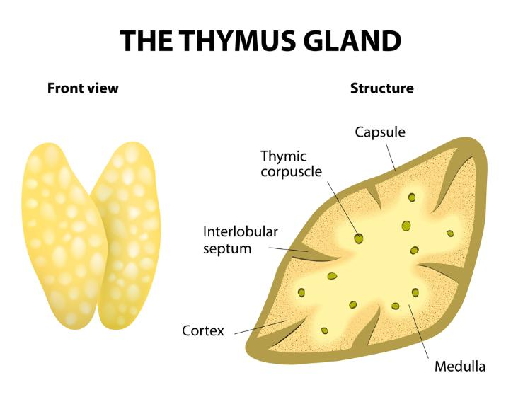 Thymus: Definition, Functions & Location - Video & Lesson Transcript ...