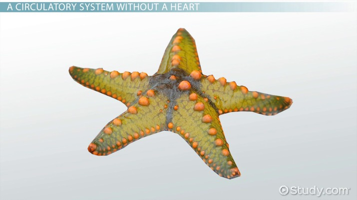 the water vascular system of a sea star functions in