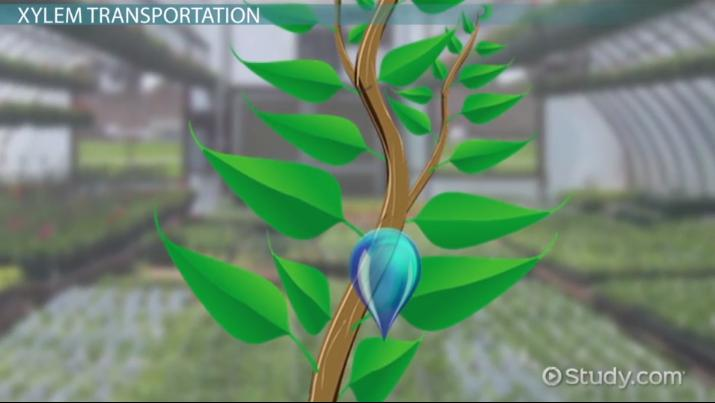Transporting Solutes Water In Plants Video Lesson Transcript