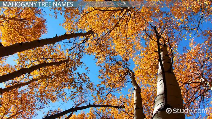 What is a Mahogany Tree? - Scientific Name, Fruit & Uses - Video