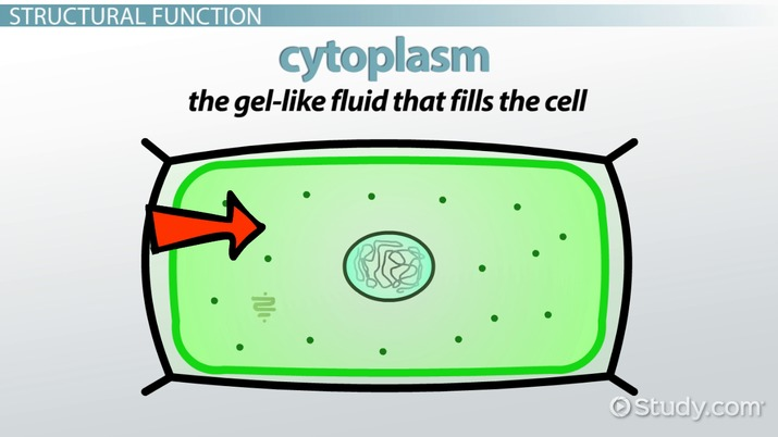 v0x6d0y2qx what does the cell membrane do in a plant cell? video & lesson