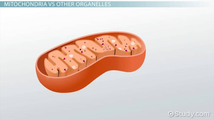 Mitochondrion Definition Function Structure