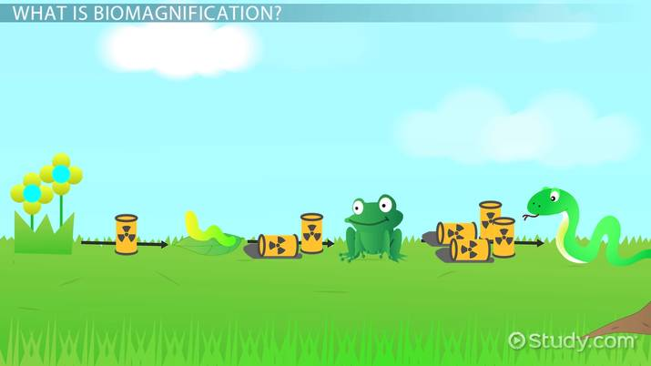 What is Biomagnification? - Definition & Examples - Video