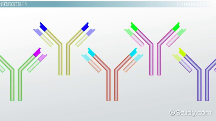 What Are Antibodies? - Definition, Function & Types - Video