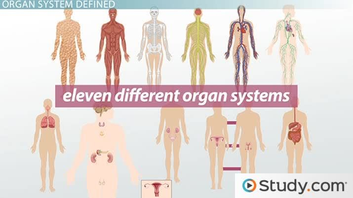 What Is An Organ System Definition Pictures Video Lesson