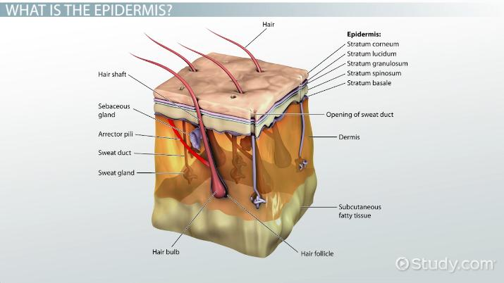 What Is Epidermis Definition Function Layers Video Lesson