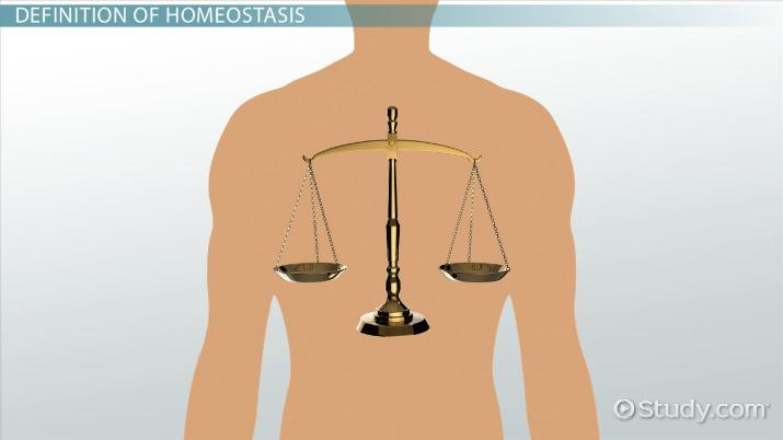 What Is Homeostasis Definition Examples Video Lesson Transcript Study Com