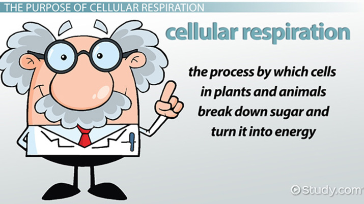 What Is The Purpose Of Cellular Respiration Video