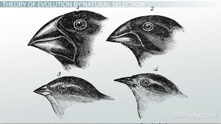 Who was charles darwin theory of evolution natural selection theory of evolution natural selection video lesson transcript study fandeluxe Image collections
