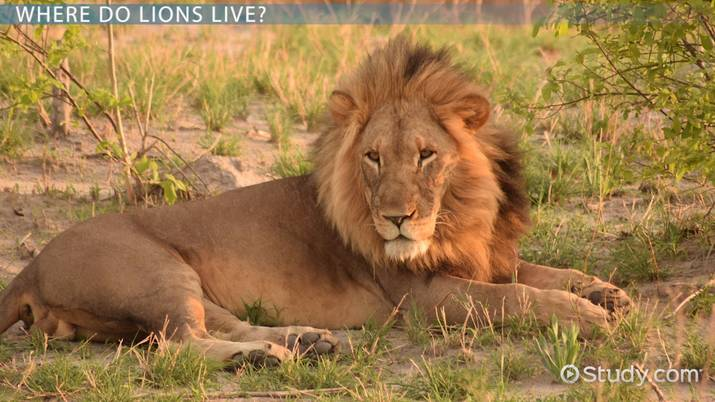 Lion Habitat: Lesson for Kids - Video & Lesson Transcript | Study com