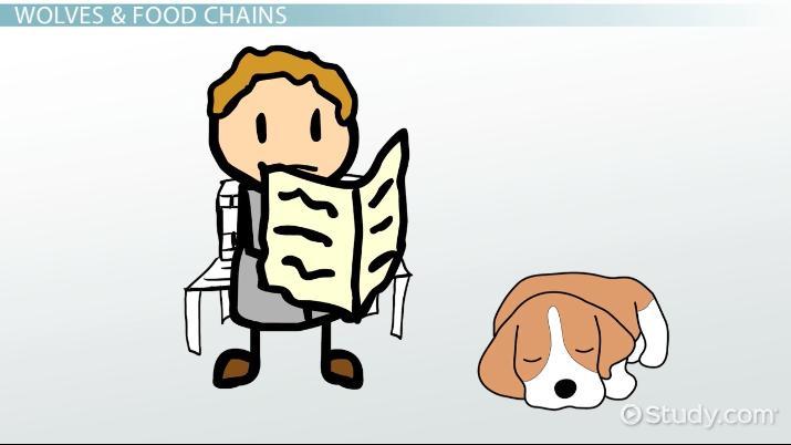 Wolf Food Chain Video Lesson Transcript Study