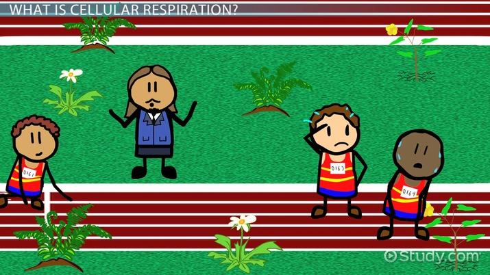 Cellular Respiration in Plants - Video & Lesson Transcript