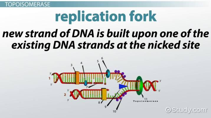 topoisomerase  definition  u0026 function