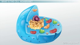 Why Is the Cell Membrane Selectively Permeable?