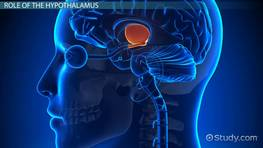 Hypothalamus: Function, Role & Definition