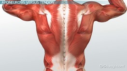 What Is Fascia in Anatomy? - Definition & Tears - Video & Lesson ...