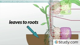 Structure of Plant Stems: Vascular and Ground Tissue
