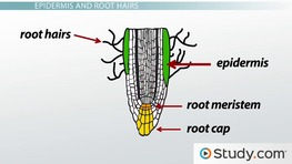 Primary Root Tissue, Root Hairs and the Plant Vascular Cylinder