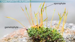 Gametophyte: Definition & Explanation