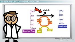 Phosphorylation: Definition, Types & Steps