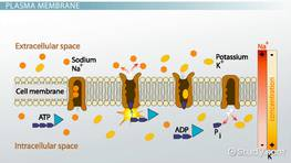 Membrane Potential: Definition, Equation & Calculation