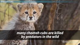 Why Are Cheetahs Endangered? - Lesson for Kids