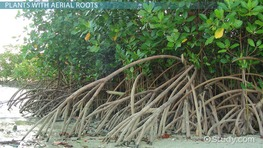 Aerial Roots: Definition, Function & Examples