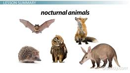 Facts About Nocturnal Animals: Lesson for Kids