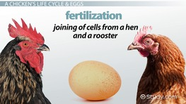 Life Cycle of a Chicken: Lesson for Kids