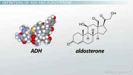 The Differences Between ADH & Aldosterone