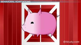 Pig Adaptations: Lesson for Kids