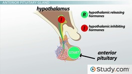 What Is the Pituitary Gland? - Functions, Hormones & Hypothalamus