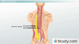 Muscles of the Vertebral Column: Support & Movement