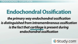 Bone Growth & Development Factors: Endochondral Ossification
