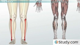 Bones of the Leg and Foot: Names, Anatomy & Functions