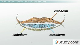 Gastrulation and the 3 Germ Layers (Ectoderm, Endoderm & Mesoderm)