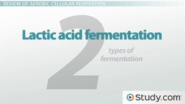 Lactic Acid & Alcoholic Fermentation: Comparison, Contrast & Examples