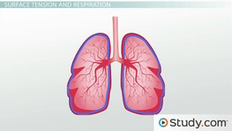 Pulmonary Surfactant Function and Ventilation