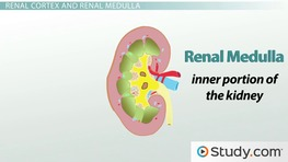 The Kidney: Major Divisions & Structures