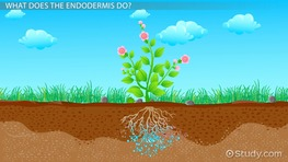Endodermis in Plants: Function & Definition