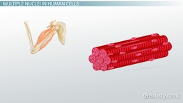 Can a Cell Have More Than One Nucleus?