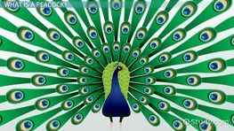 Peacock Facts: Lesson for Kids
