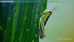 Life Cycle of a Grasshopper: Lesson for Kids