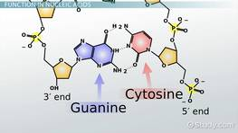 Guanine: Structure & Definition