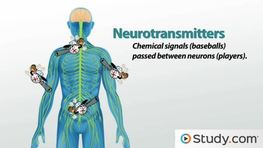What is a Neurotransmitter? - Definition, Types, Function & Examples