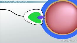 Sperm cell contributes to vertebrates — photo 10